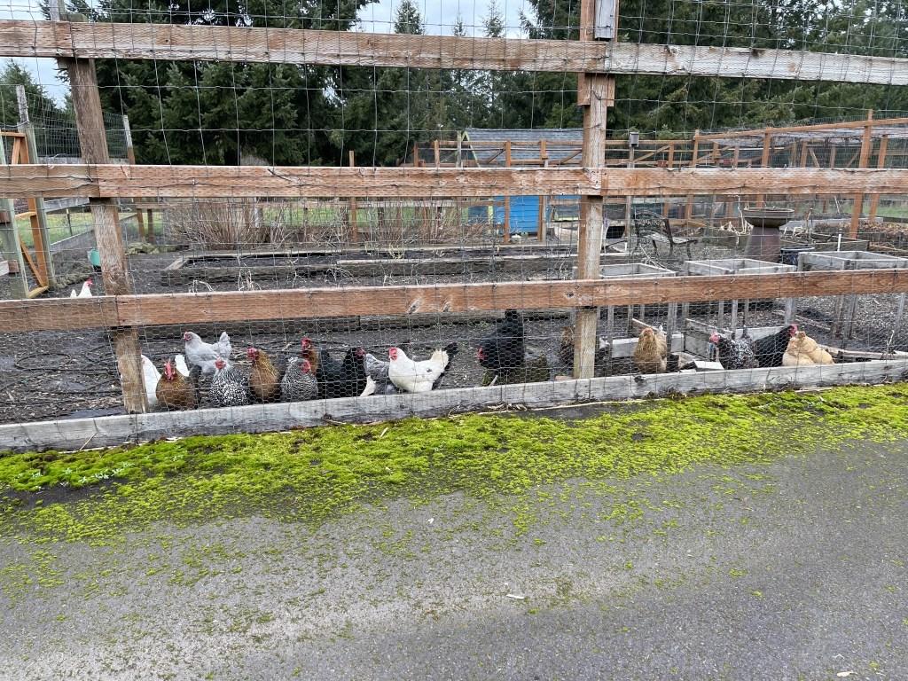 Chickens in the veggie garden