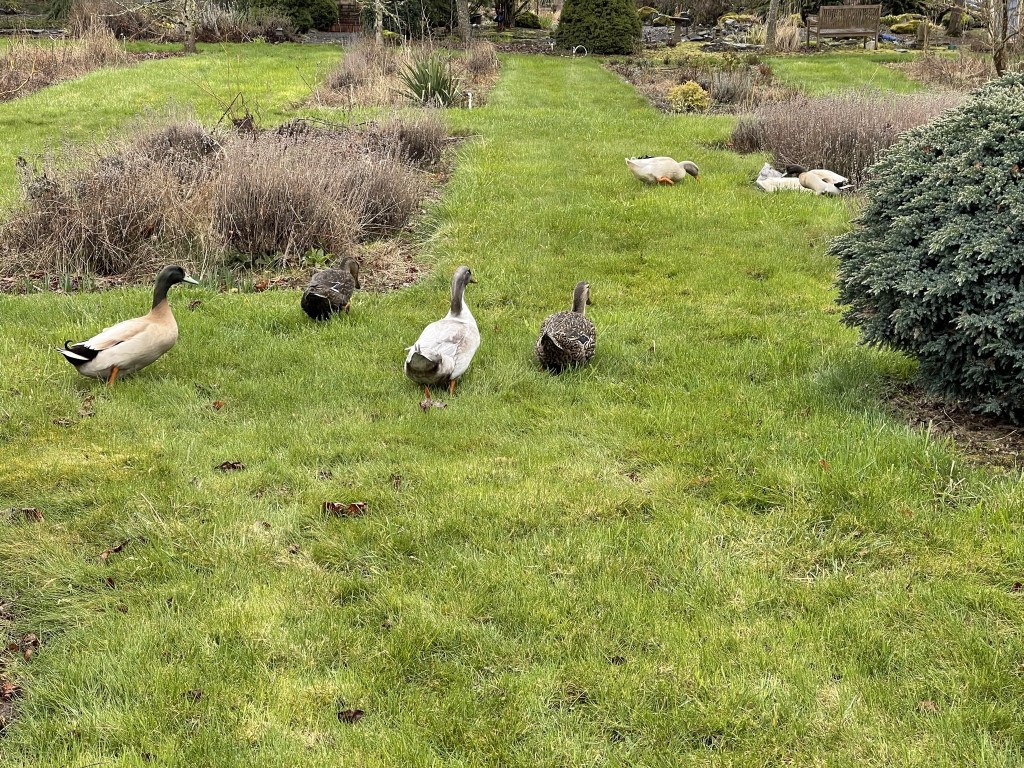 Ducks amongst the flowerbeds