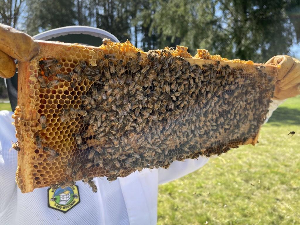 Yellow hive: brood