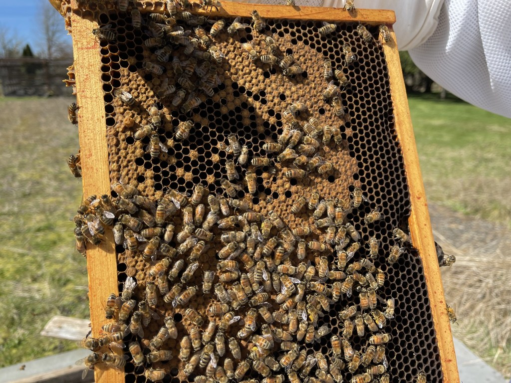 Cedar hive: brood, with some emerging