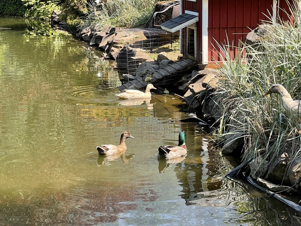 Ducklings on the ramp