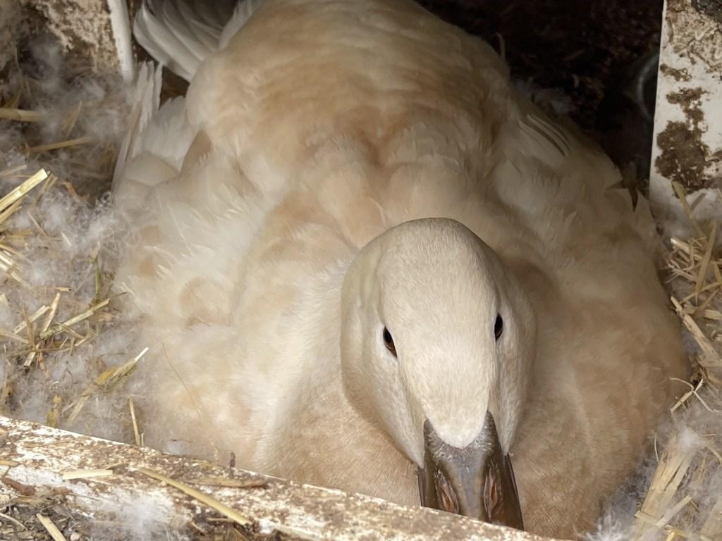 Betty nesting