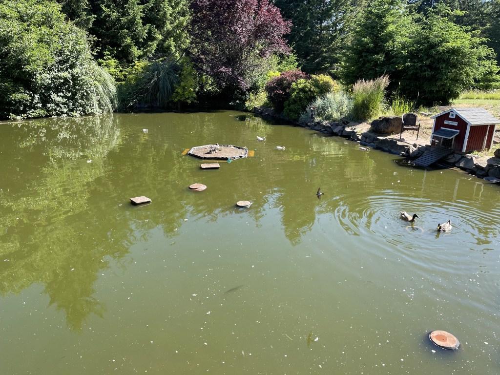 Pond, ducks, bird