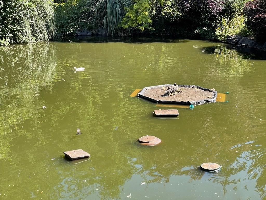 Pond ducks, bird