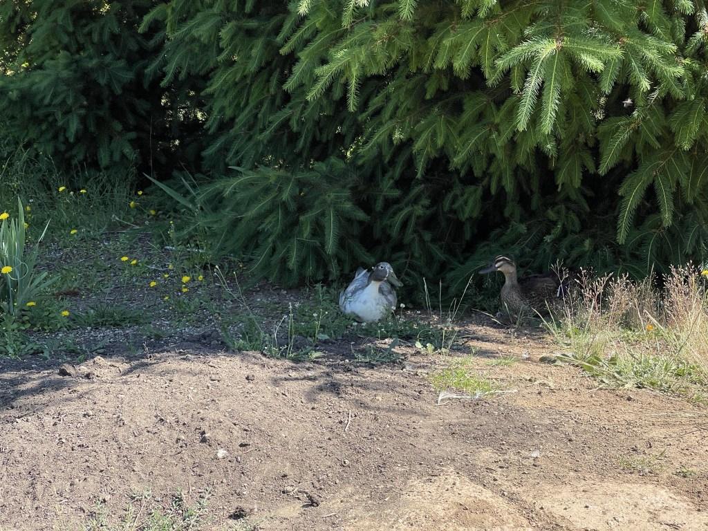 Ducks enjoying some shade