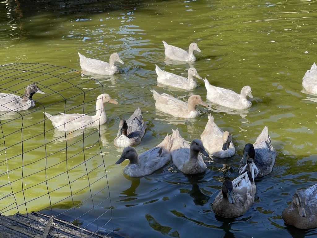 Ducks in the pond