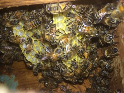 Bee HIve Removal in Milton GA