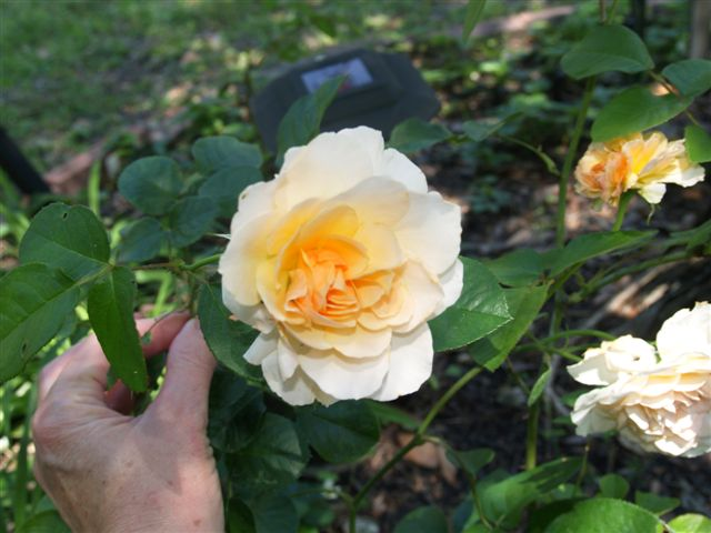 Roses for Elizabeth - A Tribute to Darleen Nordine  (3/6)