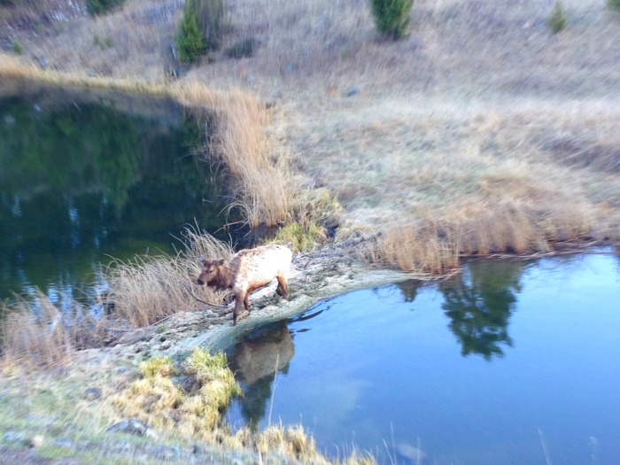 cow elk in pond mud