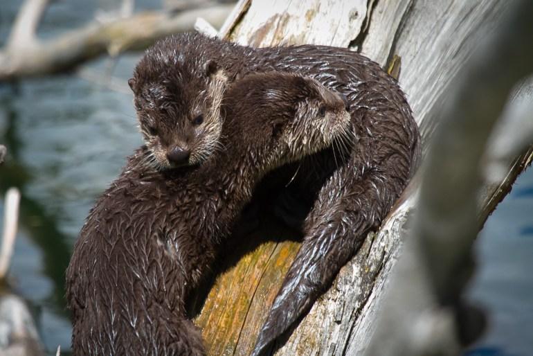 yellowstone wildlife tour otters
