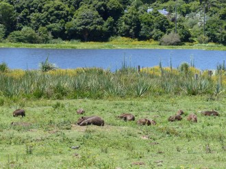 Our first capybara colony