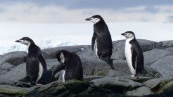 And a final look at a small group of Chinstrap penguins