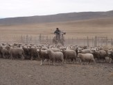 Gauchos at work herding the sheep