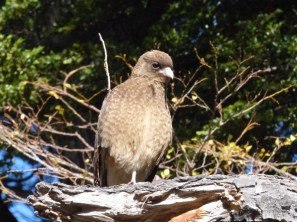 We got quite used to these noisy creatures, the Chimango caracaras, hanging around our camps