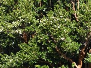 Many beautiful Arrayane trees in flower