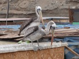 At fishing village of Coloso, the pelicans were numerous, waiting around for waste from the catches