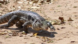 And a pair of Iguanas wandered through our riverside camp spot a couple of times
