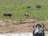 It's all about the water… Buffalo, Capybaras and Rheas