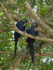 The pair of Blue Hyacinth Macaws that visited the tree above the van at Porto Jofre each morning to complain about the heat