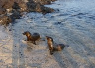 Young sealion pups are left on their own while their mothers go out fishing - they can be left waiting for up to two weeks before their mothers bring them food
