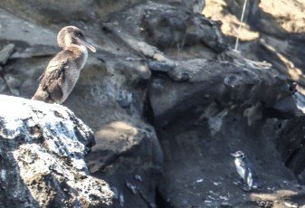 A Flightless Cormorant with a Galapagos penguin in the background