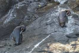 Two Galapagos Penguins preen after a dip in the cool waters of the Humboldt current