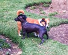 A mini Peruvian hairless dog - very punk!