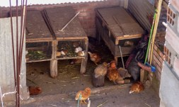 Many people keep both chickens and guinea pigs out back