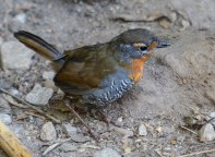 This Chucao Tapaculo we came cross in Chile was very bold