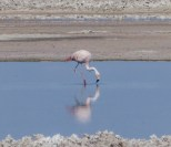 Chilean Flamingo near San Pedro de Atacama, Chile