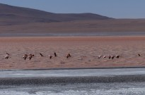 There are lots of flamingos in southern Bolivia along the high altitude 'lagoon route'