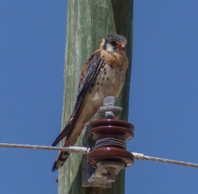 American Kestrels are quite common