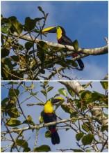 Choco Toucans, Mindo, Ecuador