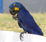 One of our favourites - a Hyacinth Macaw