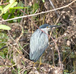 A Faciated Tiger-Heron?