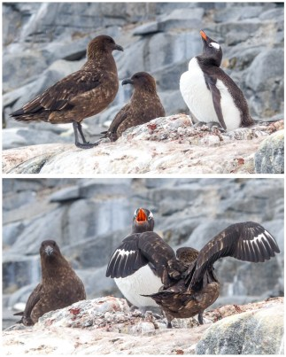 We watched this Gentoo try and defend her chick from these two skuas...
