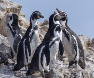 Humboldt Penguins off the coast of Peru are very similar to the Magellanic Penguins