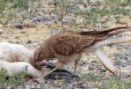 A Chimango Caracara feeding off a Magellanic Penguin carcass