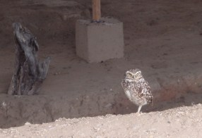 We came across a number of Burrowing Owls. This one was guarding an ancient tomb on the coast of northern Peru