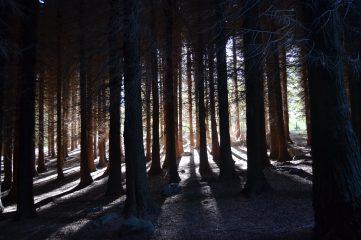 Interior del pinar