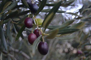 Aceitunas en el árbol