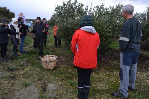 Ordeño manual de la oliv