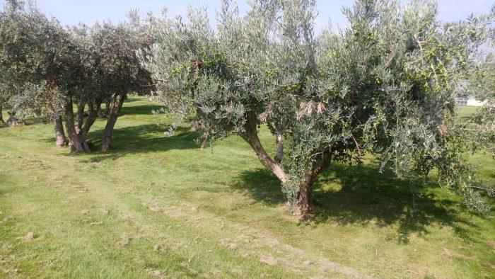 Olivos de diferentes variedades de aceitunas