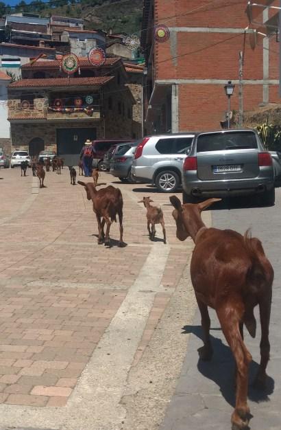 Rebaño de cabras en Ovejuela
