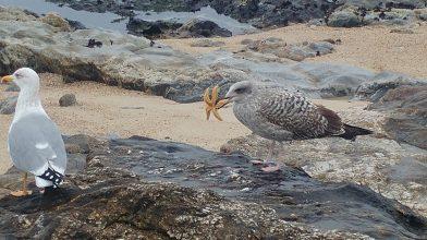 La gaviota y la estrella de mar