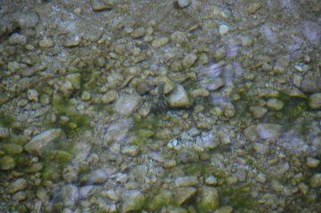 Cangrejo ibérico en el Río Matarraña