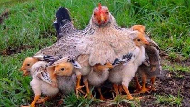 anne tavuklar