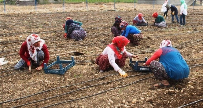 Kadın çiftçiler salep üretecek