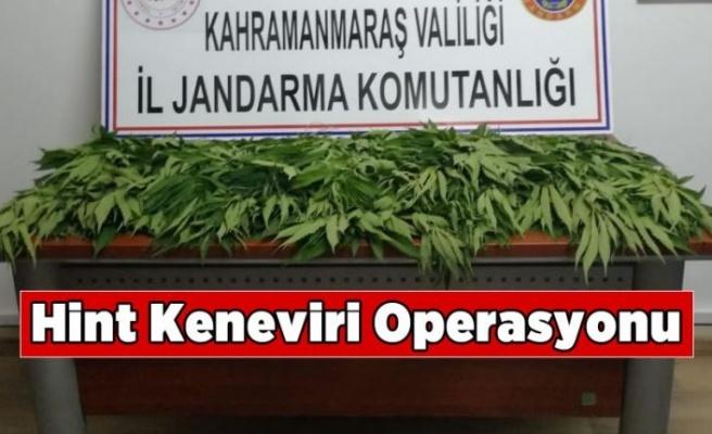 Kahramanmaraş'ta Hint keneviri operasyon 1 gözaltı