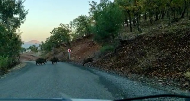 Yoldan geçen domuz sürüsü görüntülendi